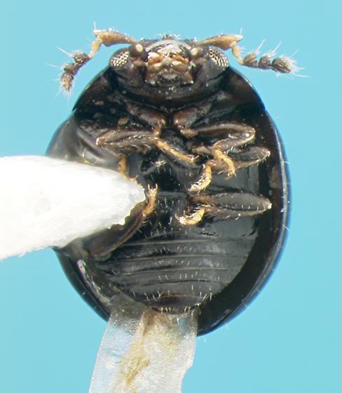 Endomychid - Micropsephodes lundgreni - male