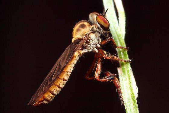 small robber fly? - Holcocephala fusca