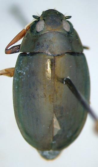 Dineutus assimilis - male