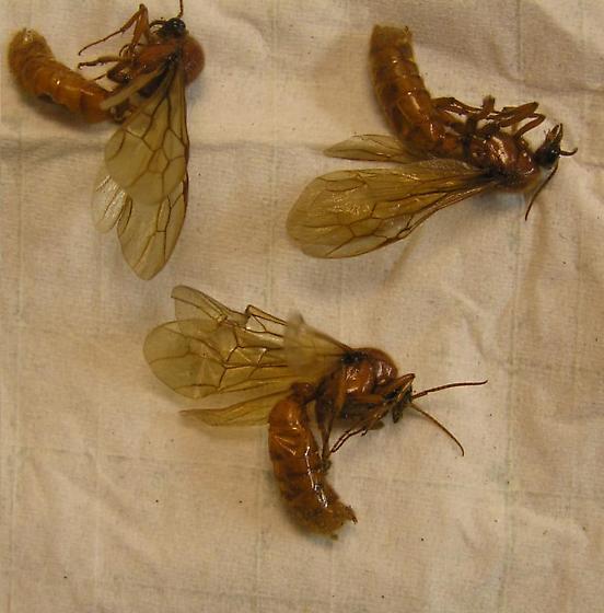 wasps, or sawflies? - Neivamyrmex - male