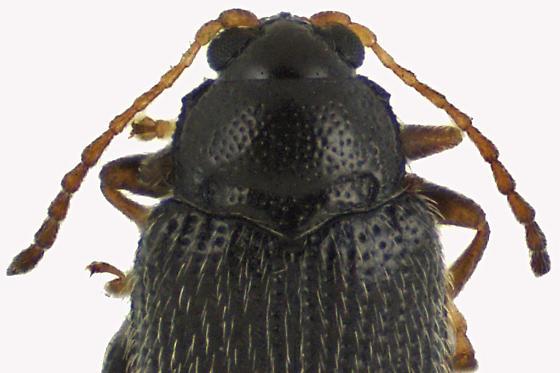 Flea beetle - Epitrix cucumeris
