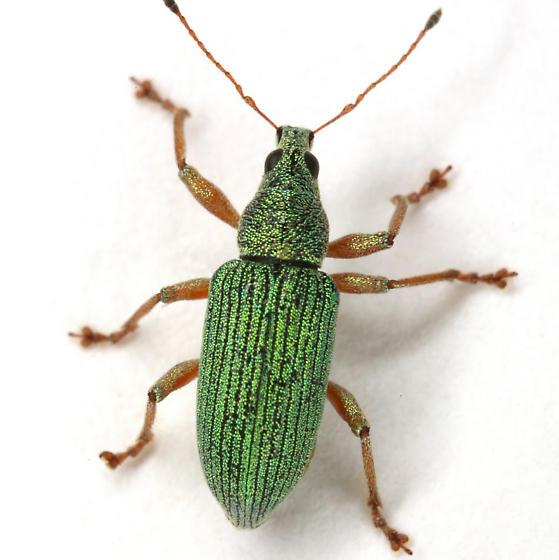Polydrusus (Chrysoyphis) formosus (Mayer) - Polydrusus formosus