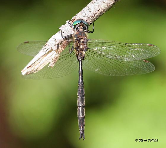 Forcipate Emerald - Somatochlora forcipata - male