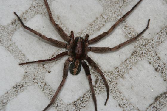 Tropical Wandering spider - Ctenus hibernalis
