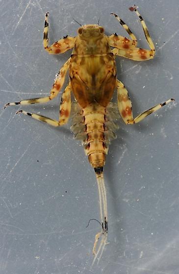 Drunella coloradensis / flavilinea - voucher specimens in alcohol - Drunella