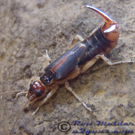 Earwig - Labidura riparia - female