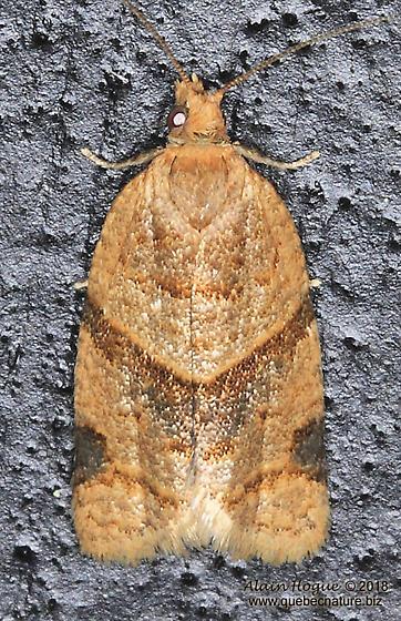 Tortricidae - Clepsis peritana