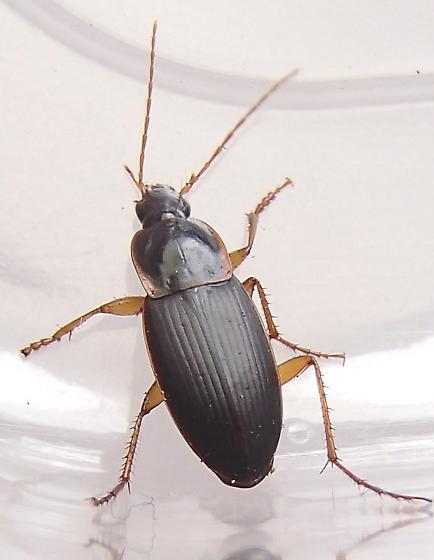 Beetle - Calathus opaculus