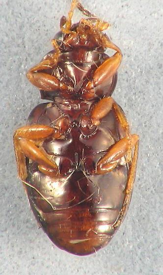 darker Bembidiini - Elaphropus