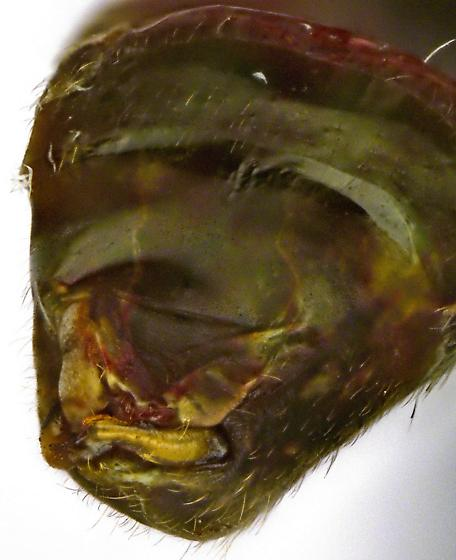 Male, Phytocoris? - Phytocoris inops - male