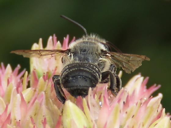 Andrena sp? - Megachile