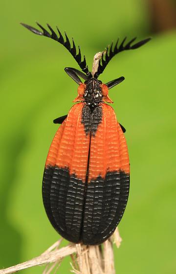 Net-winged Beetle - Caenia? - Caenia dimidiata