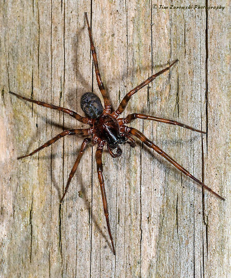 Spider - Cybaeus