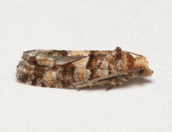 Olethreutinae, lateral - Eucopina tocullionana