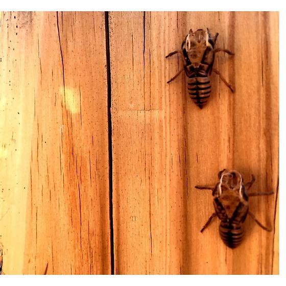 Bug Shells - Platypedia