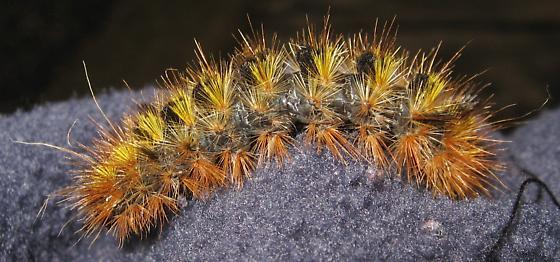 Orange,Yellow,& Black Hairy Caterpillar - Lophocampa argentata
