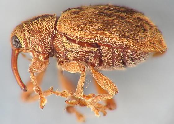 Nerd weevil - Lignyodes bischoffi