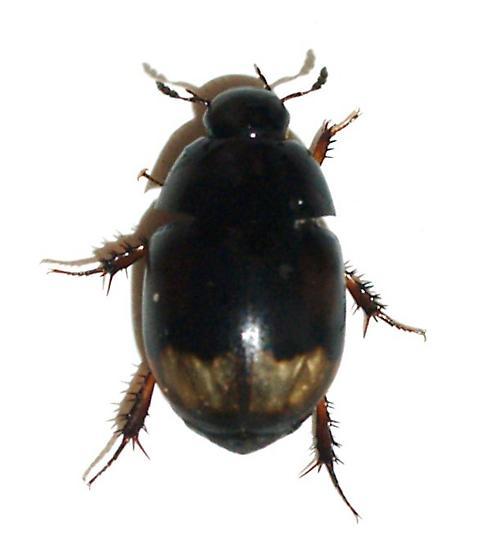 Cow dung Hydrophilidae - Sphaeridium scarabaeoides