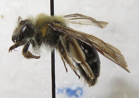 56 - Andrena