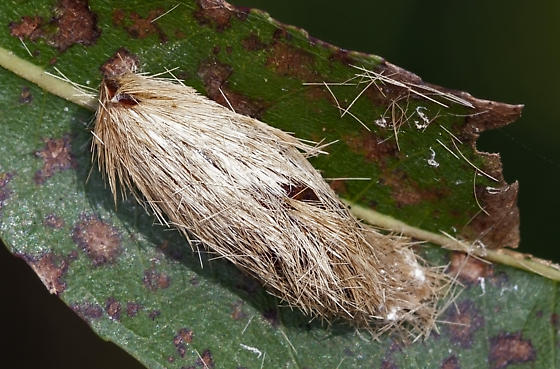 Possible Flannel Moth Pupa - Lymire edwardsii