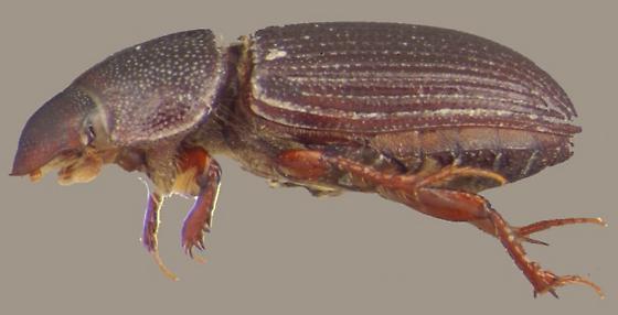 Ataenius hesperius Cartwright - Ataenius hesperius
