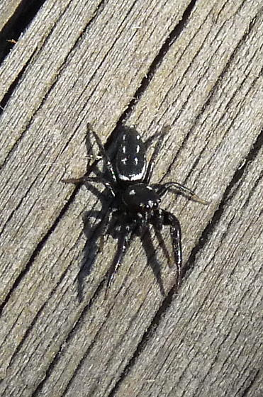 Spider, black with white spots - Marpissa formosa