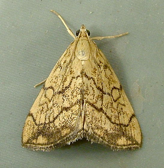 Evergestis pallidata - Purple-backed Cabbageworm - Hodges#4897 - Evergestis pallidata