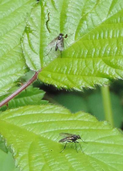 Diptera, unidentified