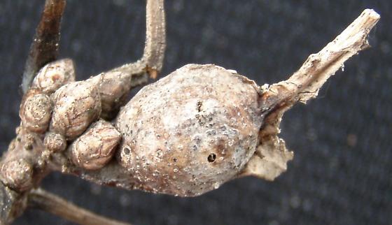 gall on white oak petiole #1 - Andricus quercuspetiolicola