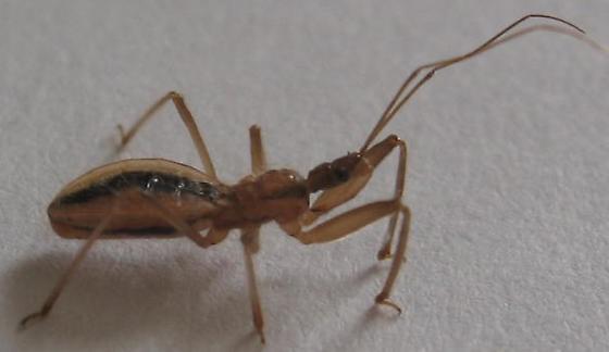 Assassin Bug - Fitchia aptera - Fitchia aptera