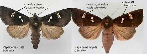 Comparison between Two Papaipema  Species  - Papaipema