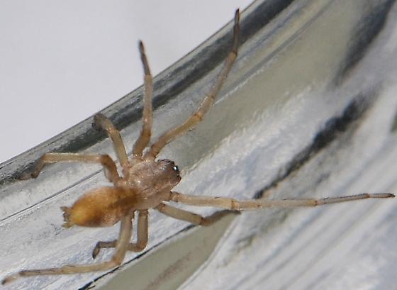 Longlegged Sac Spider - Cheiracanthium - female