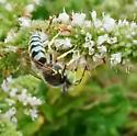 Bee? Wasp? Fly? - Bembix