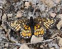 Unknown Butterfly 4650 - Chlosyne definita - female