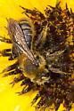 Haynes' mining bee - Andrena - female