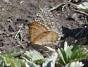 Interesting Moth - Xanthorhoe columelloides - male