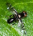 Odd Fly - Rivellia