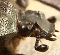 scarab - Osmoderma scabra