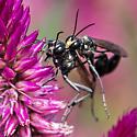 thread-waisted wasp - Eremnophila aureonotata - male - female