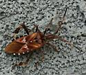 What is this? - Leptoglossus occidentalis