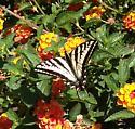 Butterfly - Papilio eurymedon