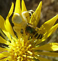 Crab spider with bee as prey - Agapostemon