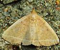 Moth 090813 - Zanclognatha marcidilinea
