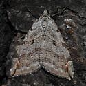 Unknowm Moth - Aplocera plagiata