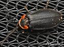 Pollaclasis bifaria - Male - Pollaclasis bifaria - male