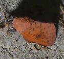 Honey Locust Moth   - Syssphinx bicolor