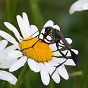 Thread waisted wasp on an oxeye daisy - Ammophila procera