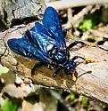 Elm Sawfly - Cimbex americanus