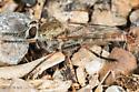 Asilid - Proctacanthella cacopiloga - male