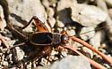 cricket - Allonemobius maculatus - male